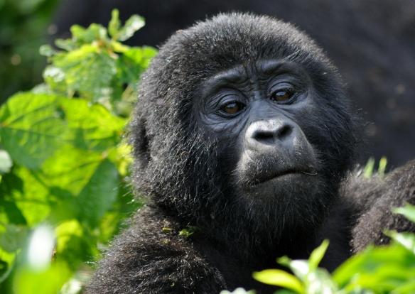 Rushegura group adolescent mountain gorilla - Bwindi Impenetrable National Park, Uganda © Allison C. Hanes