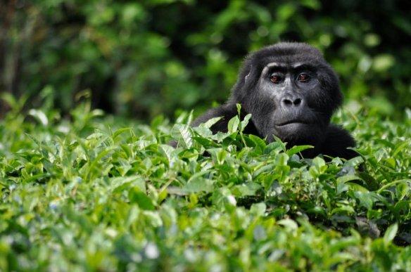 Buzinza trespassing tea plantations - © Allison C. Hanes