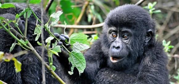 cropped-baby-gorilla-1-1000x288.jpg