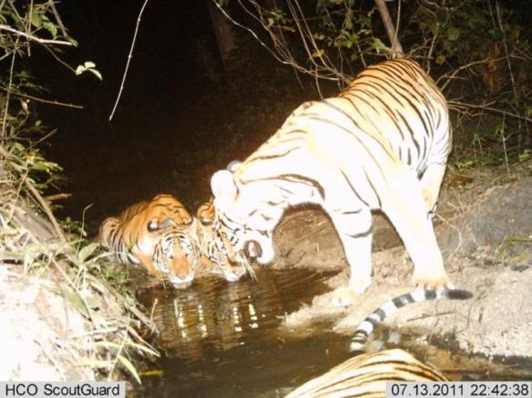 Camera Trap Image of tigers and cubs from Huai Kha Khaeng (HKK) Wildlife Sanctuary, Thailand. © WCS