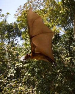 Bangladesh bat release. © www.ecohealthalliance.org