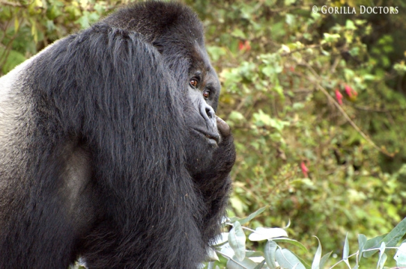 Dominant silverback Guhonda, one of the largest silverbacks in Volcanoes National Park, is the most seriously afflicted with the respiratory illness.