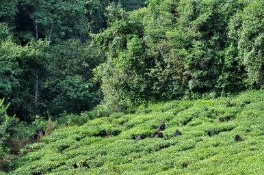 Rushegura gorilla family trespassing tea plantations - Allison C. Hanes